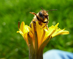 Raising Gentle Bees for your Backyard – 2/18/12